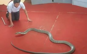 Kissing A King Cobra