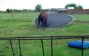 Buffalo Jumps On Trampoline