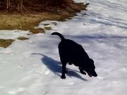 Black Lab Really Loves The Snow