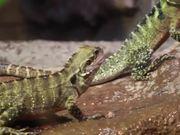 Lizards Feeding on Crickets