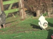 Chickens Outside