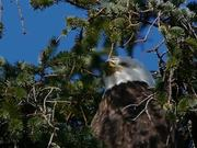 Eagle Watching Behind Branches
