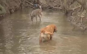 Deer Excited By Dog