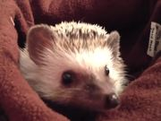 The Truth About Hedgehogs