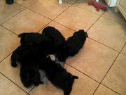 Puppies Eating Together Scottie Pinwheel.