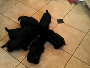 Puppies Eating Together Scottie Pinwheel.