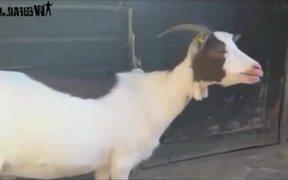 Goats Screaming Like Humans