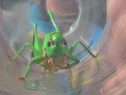 Grasshopper in Glass