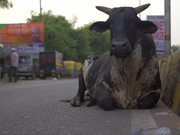 Black Cow Sitting by Indian Roadside
