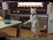 Japanese Cat Walks Backwards On Hind Legs