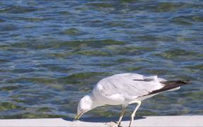 Gull Eating by Lake