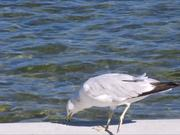 Gull Eating by Lake