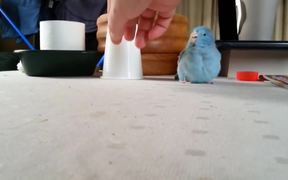 Parrot Chases Plastic Cup