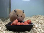 Cute Hampster Eating Carrots