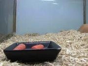 Cute Hampster Eating Carrots