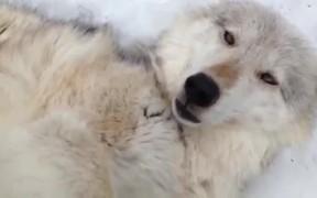 Wolf Belly Rub