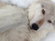 Wolf Belly Rub