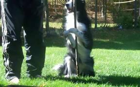 Amazing Border Collie Tricks