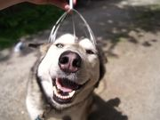 Husky Head Massage