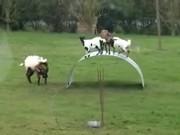 Goats Bouncing Around