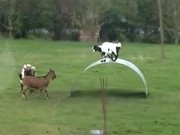 Goats Bouncing Around