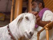 Indian Man Petting a Goat