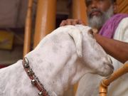 Indian Man Petting a Goat