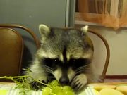 Racoon Eating Grapes