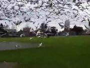Geese Tsunami