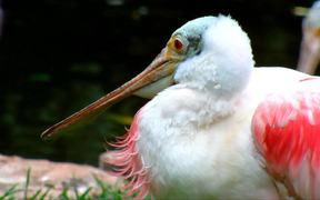 Spoonbill Close-Up