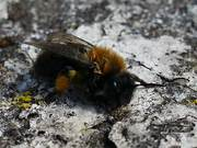 Honey Bee Cleaning