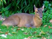 Chewing Muntjac