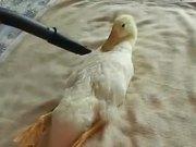 Duck Vacuum