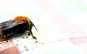 Bee Macro Slow Motion