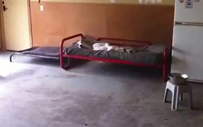 Great Dane Loves Bed