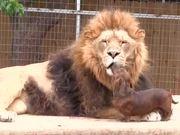 Dachsund Frenches Lion
