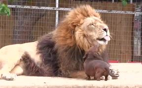 Dachsund Frenches Lion
