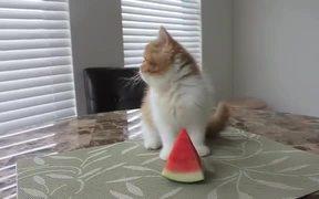 Cute Kitten Eating Watermelon