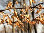 Brown Leaves in Wood