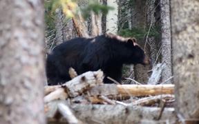 Black Bear in San Francisco Peaks