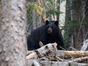 Black Bear in San Francisco Peaks