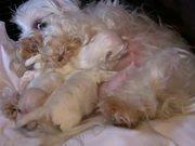 Cute Maltese Puppies - 2 Weeks Old