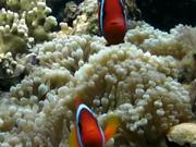 fish baronjan