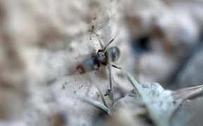 Micro world of a black ant. Free HD video footage