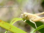 Grasshopper Eating Grass