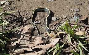 Diablo Range Garter Snake