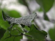 Rain on a Leaf in Slow Motion