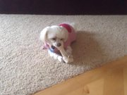 Maltese. Small Dog Big Bone, and Funny Reaction