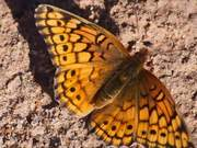 Variegated Butterfly