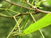Catalpa Sphinx Caterpillars